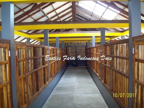 gambar kandang kambing ras Kaligesing_9 Exotics Farm Indonesia