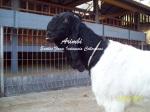 Induk Kambing Etawa Super-Arimbi_1