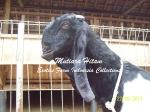Kambing Etawa IndukSuper Mutiara Hitam_2