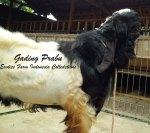 Pejantan Super Kambing Etawa Gading Prabu_4