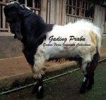 Pejantan Super Kambing Etawa Gading Prabu_9