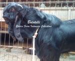 Kambing Etawa Jantan Super Balotelli_1
