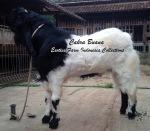 Kambing Jantan Etawa Super Cakra Buana_1