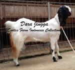 Kambing Etawa Induk Super_Dara Jingga_8