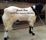 Kambing Etawa Jantan Super_Gareth Bale_2