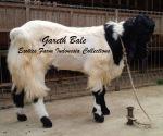 Kambing Etawa Jantan Super_Gareth Bale_4