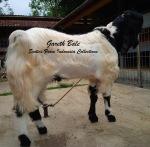 Kambing Etawa Jantan Super_Gareth Bale_6