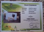 Piagam Juara Kontes Kambing Etawa_Gareth Bale Purworejo  Mei 2015