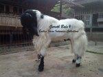 Kambing Etawa Jantan Juara Kontes_Gareth Bale_4